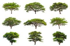 Coleção de árvores de chuva (saman de Samanea) Imagens de Stock Royalty Free