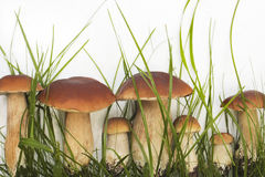 Coleção de cogumelos selvagens comestíveis Imagens de Stock