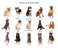 Coleção de grandes cães populares da raça foto de stock