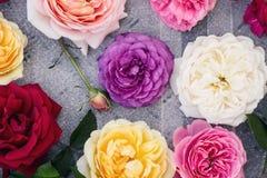 Coleção de rosas do verão em um cinza fotografia de stock royalty free