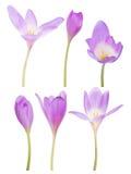 Coleção de seis flores lilás do açafrão no branco Fotos de Stock Royalty Free