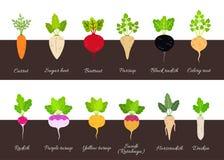 Coleção de vários vegetais de raiz crescentes ilustração royalty free