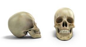 A coleção do crânio humano no fundo branco isolado 3d rende ilustração do vetor