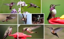 Coleção do pássaro do zumbido Imagem de Stock Royalty Free