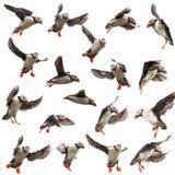 Coleção do papagaio-do-mar atlântico ou do papagaio-do-mar comum Imagem de Stock