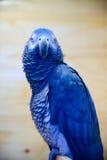 Coleção do Parakeet imagens de stock