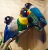 Coleção do Parakeet foto de stock