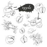 Coleção do ramo de florescência da árvore de maçã, do ponto abstrato, da rotulação e de maçãs inteiras e cortadas Esboço tirado m ilustração do vetor