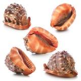 Coleção do Seashell Imagem de Stock Royalty Free