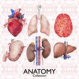 Coleção dos órgãos da aquarela ilustração do vetor