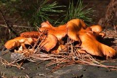 Coleção dos fungos Fotografia de Stock