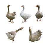 Coleção dos gansos Imagens de Stock Royalty Free