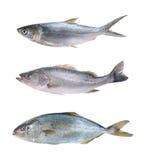 Coleção dos peixes Imagens de Stock