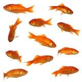 Coleção dos peixes do ouro Imagem de Stock