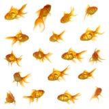 Coleção dos peixes do ouro Fotos de Stock Royalty Free