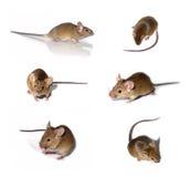 Coleção dos ratos Fotografia de Stock Royalty Free