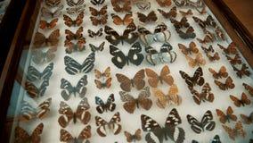Coleção entomológica, borboletas sob o vidro video estoque