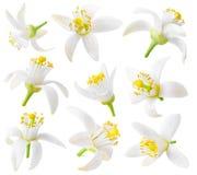 Coleção isolada das flores da árvore alaranjada fotografia de stock royalty free
