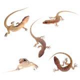 Coleção isolada Gecko Fotos de Stock Royalty Free