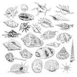 A coleção original do museu do mar descasca a espécie em vias de extinção rara, cardissa Tr de Corculum do murex do pente do Vênu ilustração do vetor