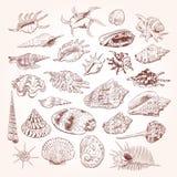 A coleção original do museu do mar descasca a espécie em vias de extinção rara, cardissa Tr de Corculum do murex do pente do Vênu ilustração stock