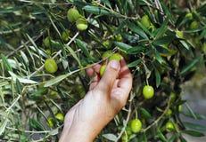 Coleção seletiva das azeitonas no bosque verde-oliva imagem de stock