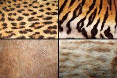 Coleção selvagem da pele dos felines imagem de stock