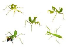 Coleções do close-up do Mantis isoladas no whit Foto de Stock