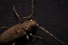 Coleóptero-Cerambycidae en fondo negro Macro Imagen de archivo