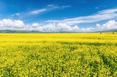 Cole blüht Ackerland in der tibetanischen Hochebene Lizenzfreie Stockbilder