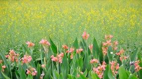 Cole bloemgebied en cannabloem Stock Afbeeldingen