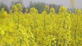 Cole de bloemen worden genomen in Hanzhong, China stock footage