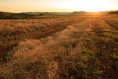 Cole del raccolto su terreno coltivabile Immagine Stock Libera da Diritti