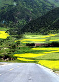 Cole Field, MenYuan, QingHai, China. The flowering cole field in August. MenYuan, QingHai province, China Stock Photos