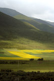 Cole Field, MenYuan, QingHai, China. The flowering cole field in August. MenYuan, QingHai province, China. Snow mountains can be seen in distance Royalty Free Stock Photography