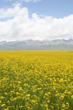 Cole Field, MenYuan, QingHai, China. The flowering cole field in August. MenYuan, QingHai province, China. Snow mountains can be seen in distance Royalty Free Stock Image