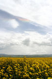 Cole Field and rainbow. The flowering cole field in August. MenYuan, QingHai province, China Royalty Free Stock Photography
