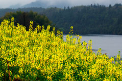 Cole flower. Golden yellow cole flower blossom with river and mountain as background Royalty Free Stock Images