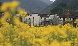 Cole flower with HUI style architecture in wuyuan of Jiangxi province. Wuyuan has mountains around the town, in March, All of the Cole flowers are open. Views Stock Images