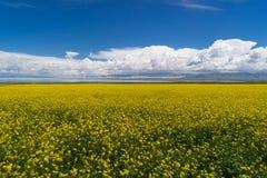 Cole Flower Landscape Stock Image