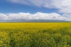 Cole Flower Landscape Stock Photos