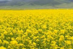 Cole Flower Landscape Stock Photo