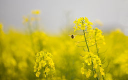 Cole flowers & bee Royalty Free Stock Photography
