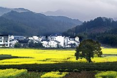 Cole flowers blossom in Wuyuan Stock Images