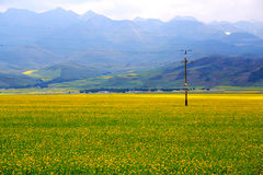 The cole flowers of Qinghai Menyuan bucolic Royalty Free Stock Photos