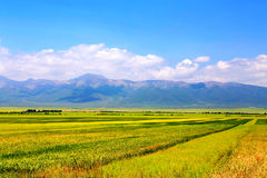 The cole flowers of Qinghai Menyuan bucolic Stock Photos