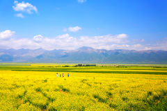 The cole flowers of Qinghai Menyuan bucolic stock photo