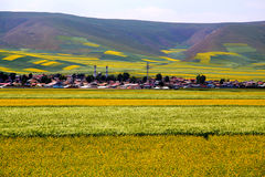 The cole flowers of Qinghai Menyuan bucolic Stock Photography