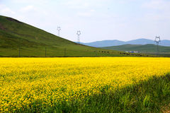 The cole flowers of Qinghai Menyuan bucolic Royalty Free Stock Photography