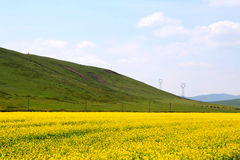 The cole flowers of Qinghai Menyuan bucolic Stock Image